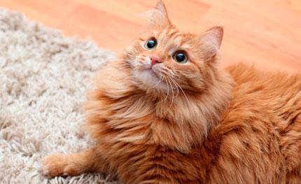 Чем нейтрализовать запах кошачьей мочи с ковра